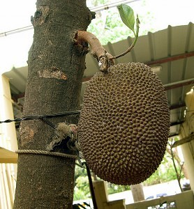 Jackfruit_reif_by_Sudarshan V